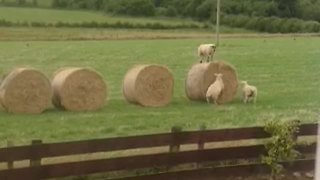 Adorable Lambs Put On A Hilarious Show For The Neighbors - Video