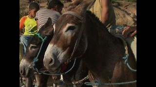 Donkey Beauty Contest - Video