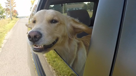 Dog can't stop smiling while sticking head out car window