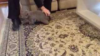 Wombat Joey Loves A Scratch From His Human Mum - Video