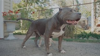 Tiny Puppy Plays With Grown Up Pitbulls