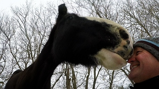 Clydesdale therapy horse extremely curious of man's gloves