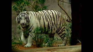 Rare White Tigers - Video