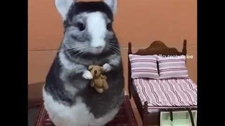 Young Chinchilla Relaxes While Holding Teddy Bear - Video