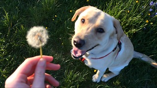 Funny Labrador devours dandelion - Video