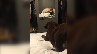Chocolate Lab Meets His Reflection - Video