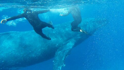 Swimmers scramble to move when humpback whale pod bears down on them