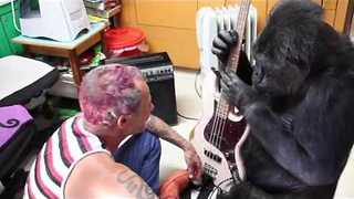 Koko the Gorilla Plays Bass Guitar With Flea From Red Hot Chili Peppers - Video