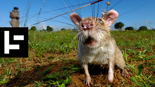 HeroRats Are Saving Human Lives With Their Noses - Video