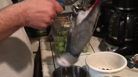 African Grey Parrot is way too impatient for dinner