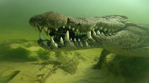 Caught On Camera: Crocodile Steals GoPro