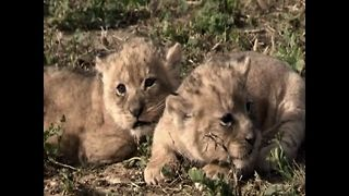 3 New Baby Lioncubs - Video