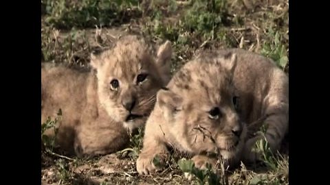 3 New Baby Lioncubs