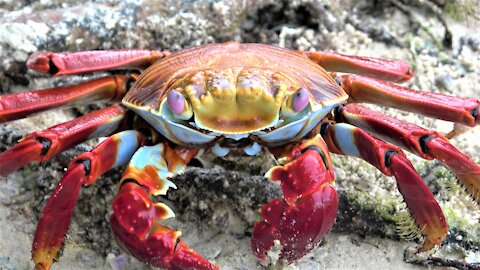 Sally lightfoot crab eating is a beautiful sight on the Beach