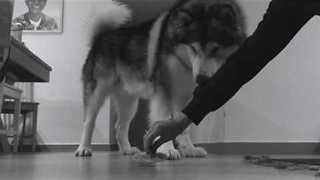 Alaskan Malamute Gets Very Excited About New Toy - Video