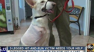 Dog who lost leg in hit-and-run crash needs your help - Video