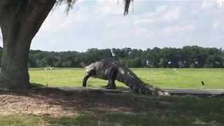 Huge Alligator Caught Wandering Through Florida Golf Course - Video