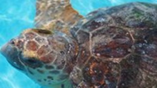 Two sea turtles will be released into the ocean - Video
