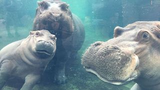 Cincinnati Zoo's Hippo Family Reunited - Video