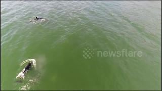 Drone captures killer whales swimming close to filmer's home - Video