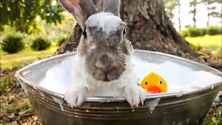 Cute Bunny Takes a Bath - Video
