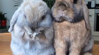 Pair of bunnies adorably enjoy snack - Video
