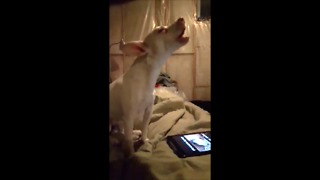 Puppy Humorously Howls At Animal Video On Tablet