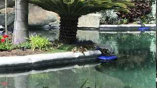Ducklings in Pool - California - Video