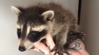 Baby raccoon rescued after mother hit by car - Video