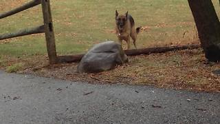 Dog Tries to Carry a Massive Tree Branch But Gets Stuck In The Process