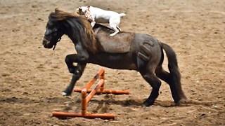 Horse Play: Jack Russell Rides Miniature Horse - Video