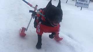 Paralyzed dog plays in the snow on skis - Video