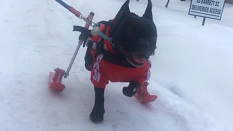 Paralyzed dog plays in the snow on skis