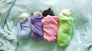 Siamese kittens are swaddled purritos - Video