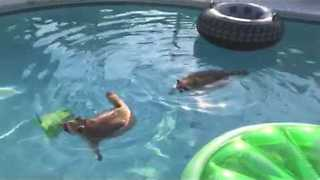 Two Adorable Racoons Swim in Owner's Pool - Video