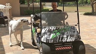 Great Danes argue over golf cart ride - Video
