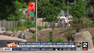 Groundhog captured at The Maryland Zoo tests positive for rabies - Video