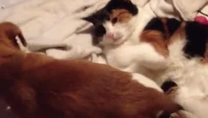 Adorable puppy sits on cats face - Video