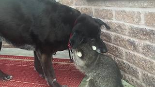 Unlikely animal friendships: Dog and raccoon