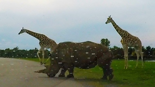 Giraffes & rhinos casually cross road in front of car