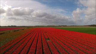 Stunning drone footage captures colorful tulip fields - Video