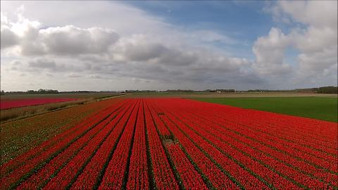 Stunning drone footage captures colorful tulip fields