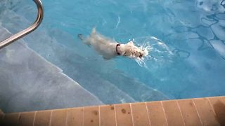 Water-loving dog swims laps in the pool