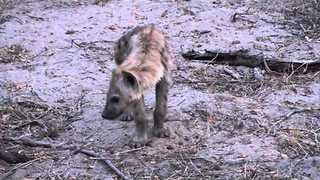 Kaingo Camp's Newest Member Stands Watchful Guard - Video