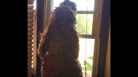 Goldendoodle Loves Howling Along With Fire Trucks