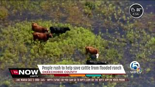 Cows dead, many more at risk after Okeechobee County ranch floods - Video