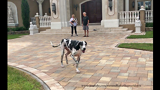 Great Dane and Puppy Make New Dog Friends