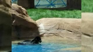 Bearizona jaguar saves life of jaguar at Reid Park Zoo - Video