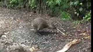 Shy Kiwi Spotted During Daylight in Rare Sighting - Video