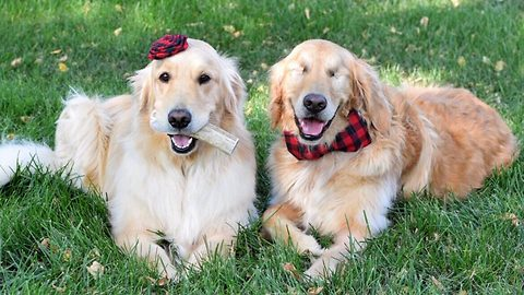 Blind golden retriever happier than ever thanks to inseparable best friend – and she doesn't stop kissing him